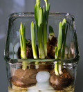 Paperwhites - focring bulbs