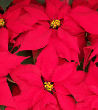poinsettias dangers
